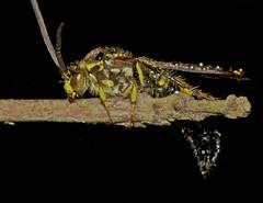Scoliid wasp (pbertner) Tags: macro selva jungle makro biology hutan dschungel biologie macrophotography macrography wespe avispa hymenoptera biologa macrofotografa biologi himenpteros macrophotographie gupes  hautflgler makrofotografie tawon  macrographie macrografa hymnoptres makrografie