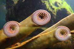 lampreas en el retorno del jedi (briveira) Tags: aquarium spain corua galicia acuario finisterrae aquariumfinisterrae lamprea