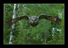 Lapinpöllö (mattisj) Tags: bird birds bravo explore greatgreyowl owl greatgrayowl owls strixnebulosa lintu linnut pöllö supershot specnature lapinpöllö pöllöt specanimal avianexcellence frhwofavs bfgreatesthits