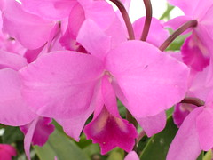 200504 072 (feijoa22) Tags: pink newzealand orchid flower otago dunedin botanicgardens