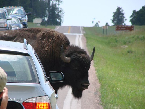 Traffic Jam in Custer State Park