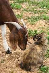 do you mind ?? (2-Dog-Farm) Tags: bear cat out one do little you farm think goat youre dont mind if sniffed yagi checks i