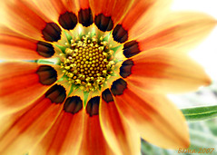 Gazania Glow (Bama4) Tags: flower nature gold glow gazania redorange isawyoufirst diamondclassphotographer flickrdiamond