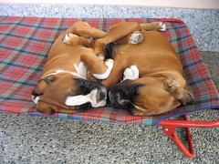 vicini vicinissimi (deboh76) Tags: friends italy dog pet cane puppy puppies duke boxerdog lips together fawn tired mug boxer lip amici sempre insieme varese muzzle bestfriends cucciolo muso cuccioli itsallabouttheboxers supershot mim cucciola fulvo alwaystogether fawnboxer boxerplace boxerpuppiesbigandlittle canidi dukemim sempreinsieme cuccioloni 4theloveofboxers patafruttoli bruttomuso boxerfulvo deborahguerra deboh76