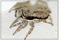 jumper enjoying photo shoot (evelyng23) Tags: macro lumix spider interestingness florida miami explore jumper soe 107 raynox i500 flickrsbest panasoni fz7 shieldofexcellence pdpnw 9232007