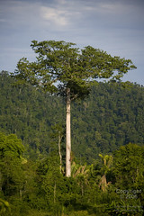 Ceiba Tree (TRPhoto) Tags: trees plants nature beauty leaves rural forest landscape flora quiet natural belize country hill relaxing roots calm toledo mayan ceiba ceibatree forested southernbelize toledodistrict jalactevillage