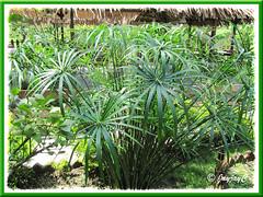 Cyperus involucratus (Umbrella Plant, Umbrella Sedge), seen around Kuala Lumpur