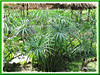 Cyperus involucratus (Umbrella Plant, Umbrella Sedge, Umbrella Flatsedge, Umbrella Grass, Umbrella Papyrus, Galingale)