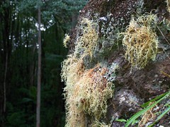 rock climbers... (YAZMDG (16,000 images)) Tags: fern leaves rock forest moss australia seeds fungi bark nsw lichen pods florafauna yaz epiphytes northernrivers rainbowregion nswrfp arffern arflichen arfepiphyte yazminamicheledegaye northernriversspecies yazmdg ystudio