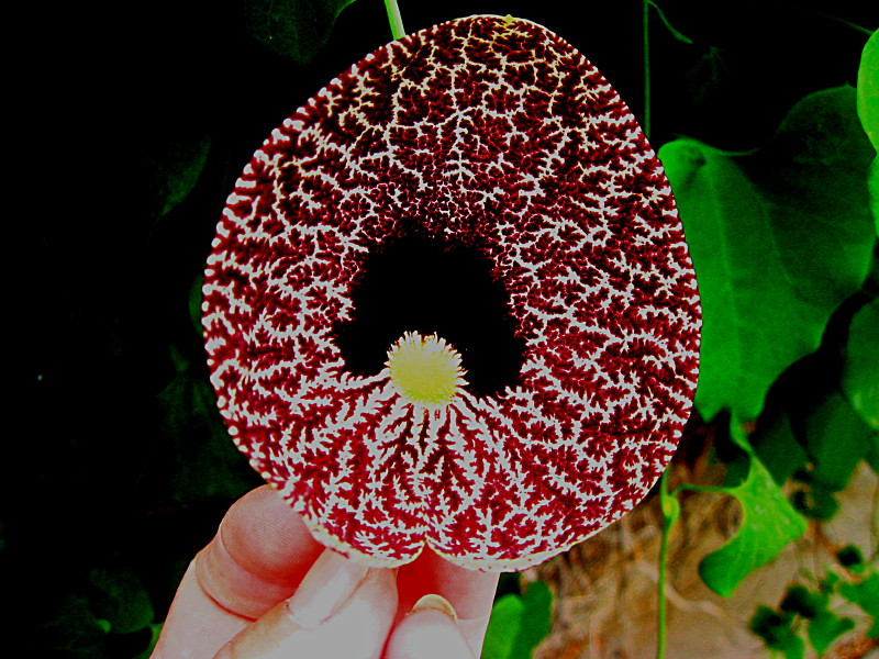 05-06-2010-flower-like-embroidered2-aristolochia