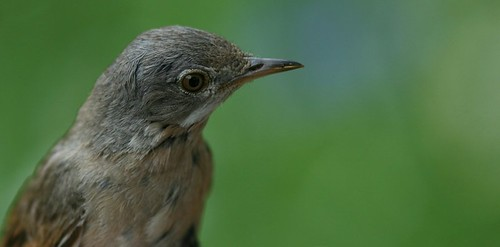 Whitethroat