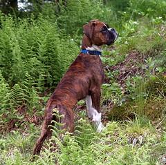 Bentley (Gloria1207) Tags: dog hill boxer ferns bentley