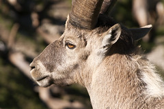 """bouquetin head closeup • <a style=""""font-size:0.8em;"""" href=""""http://www.flickr.com/photos/30765416@N06/5185527958/"""" target=""""_blank"""">View on Flickr</a>"""