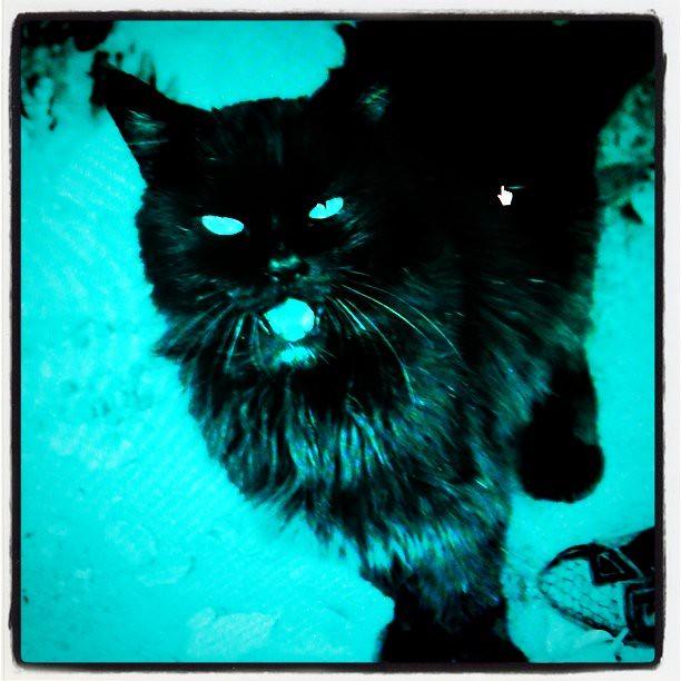 Black kot