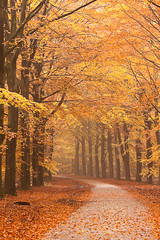MK_0167_101031 (Marcel Kerkhof) Tags: road wood autumn trees red orange brown plant holland color fall nature netherlands colors beautiful yellow rural forest season landscape carpet outdoors gold golden leaf woods october colorful branch seasons natural bright path vibrant branches country seasonal scenic peaceful dry scene cobbled foliage cobble lane trunk colored canopy leafs vanishing footpath autumnal beech fagussylvatica gieten
