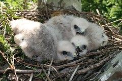 good pic of chicks in nest