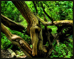 Tied up in knots.... (K2D2vaca) Tags: tree green illinois woods shade normal woodbine limb knots naturesfinest normalil welcomeall supershot anawesomeshot wowiekazowie top20green ewingpark k2d2vaca