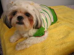 IMG_3725.JPG (Chiptography) Tags: dog marzipan maltzu