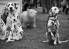 I spotted Spot the spotty dog was potty, but at least he wasn't stuffed (photocillin) Tags: 2 two dog real model spot double dot faux lead dalmatian false dotty doppleganger