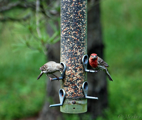 Finch Feed