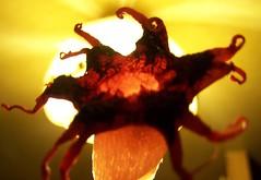 Aseroe rubra Starfish - Fungus (YAZMDG (16,000 images)) Tags: leaves moss seeds fungi bark fungus nsw lichen pods basidiomycota florafauna yaz saprophytic aseroerubra northernrivers gleba phallaceae aseroe starfishfungus detritivore arffungi qrfp anemonestinkhorn seaanemonefungus mycoheterotrophs yazminamicheledegaye redarffungi yazmdg ystudio