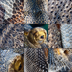 scales (marianna armata) Tags: eye texture lucifer dragon skin reptile shed australian lizard scales ear spikes bearded