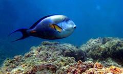 Hi, pleased to meet you, dude! (<Younes>) Tags: blue fish color underwater iran scubadiving   kishisland  younes      kolahdouz
