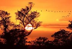 Beautiful Formation (PelicanPete) Tags: trees sunset wild nature birds unitedstates florida flock flight silhouettes formation saturdaynight ibis wetlands cloudscape southflorida vformation bocaratonflorida sunsetbirdsinflight