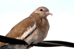 Paloma (myrmardan) Tags: bird mexico dove paloma pássaro ave mexique tori vogel colombe mexiko uccello messico 墨西哥 メキシコ mekishiko osieau