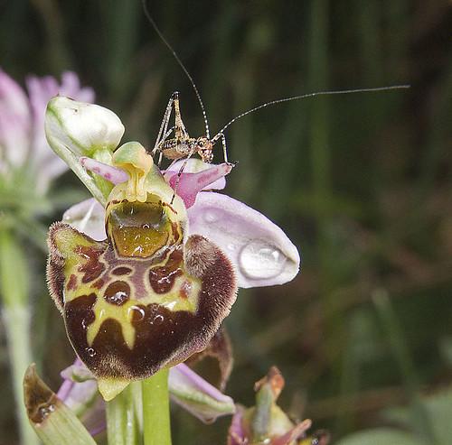 Ophrys scolopax? et errances taxinomiques - Page 2 5188717090_10eec8d4cd