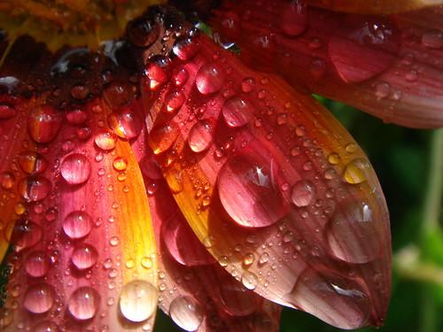 Dew drops (hbierau) macro water ilovenature dewdrops drops bravo 100v10f dew tau tautropfen hotshot blueribbonwinner scoremefast anawesomeshot colorphotoaward aplusphoto superbmasterpiece ysplix naturewatcher colourartaward hbierau