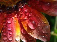 Dew drops (hbierau) Tags: macro water ilovenature dewdrops drops bravo 100v10f dew tau tautropfen hotshot blueribbonwinner scoremefast anawesomeshot colorphotoaward aplusphoto superbmasterpiece ysplix naturewatcher colourartaward hbierau