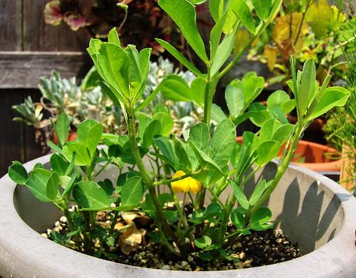 Peanut Plant Flower 1-062707