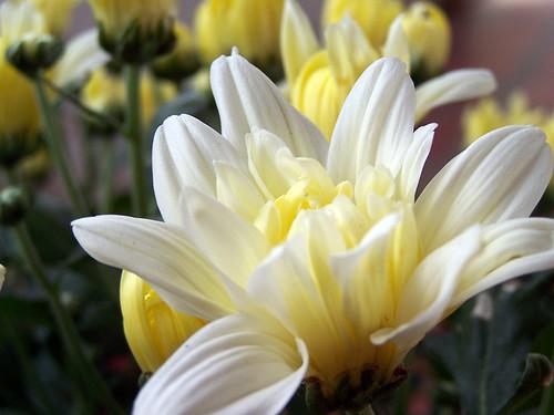 Los Crisantemos (Haiku) - Nando © 2007 -