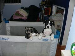 puppy teresa spca rhiana
