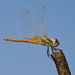 Red-veined darter (Sympetrum fonscolombii) male - by macropoulos