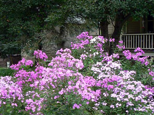 Phlox Under the Apple Trees