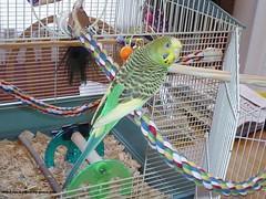 01 (PhotoPieces) Tags: bird budgie parakeet ilovebirds