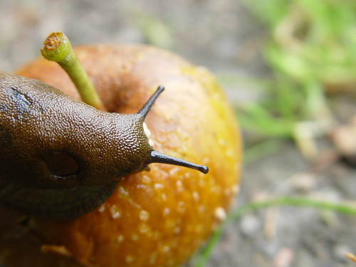 limace sur pomme