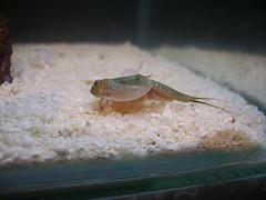aquarium monkey shrimp australia science seamonkeys instant tadpole ...