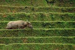 Green Lines and the Buffalo (monchoparis) Tags: verde green animal canon eos buffalo asia vert vietnam ricefield bufalo sapa waterbuffalo buffle vitnam  500d vitnam  arrozal    bufalodeagua  tamron18270  riciere buffledeau