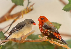 Strawberry Finch (Abdullah Alashiri) Tags: red rojo strawberry finch munia comune amandava bengalino specanimal bengal  tigerfink    tigerastrilde