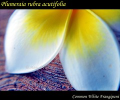White Gold (PrancingHorse) Tags: white flower yellow nikon frangipani champa manish d60 chafa nikond60 kathgolop चम्पा चाफ़ा chapha commonwhitefrangipani plumeraia plumeraiarubraacutifolia