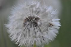 dandelion (alias Tomnorton) Tags: valgardena löwenzahn pusteblume soffione dentedileone kristiania tomnorton stufferthomas