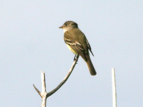 Willow Flycatcher 3-20100610