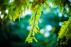 swaying in the autumn breeze (moaan) Tags: life leica november color green digital 50mm dof bokeh diary f10 kobe utata rokko ready noctilux hue metasequoia 2010 conifer m9 coniferoustree readyforwinter explored inlife rustlings leicanoctilux50mmf10 leicam9 rustlinginthewind readyforglowing diaryofnovemver gettyimagesjapanq1 gettyimagesjapanq2