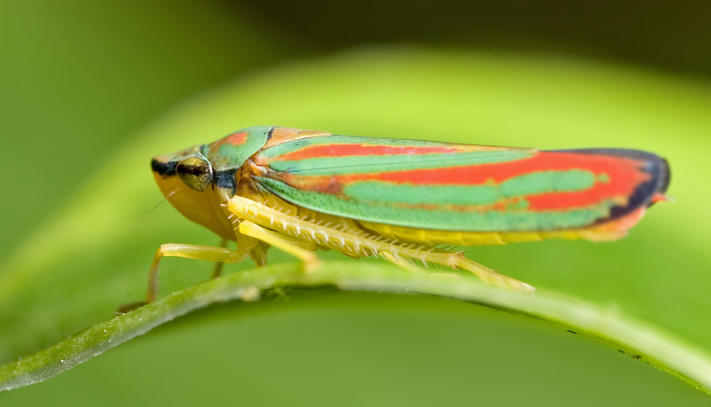 colorful leaf hopper by - photo #7