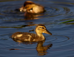 I Love Baby Ducks Fresh as the Morning Dew (Fort Photo) Tags: baby reflection bird nature birds animal duck colorado searchthebest wildlife birding chick ave co mallard waterfowl ornithology avian anasplatyrhynchos 2007 greeley naturesfinest supershot dabblingduck featheryfriday anatinae specnature specanimal glenmere abigfave anawesomeshot superbmasterpiece avianexcellence diamondclassphotographer flickrdiamond