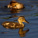 I Love Baby Ducks Fresh as the Morning Dew - by Fort Photo