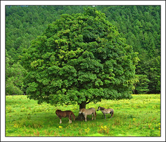 Horse Shelter (edowds) Tags: horses 3 tree green scotland breathtaking inverclyde inverkip scoreme45 flickrsbest flickrscorer21 brillianteyejewel flickrcallengegroup yourock1stplace
